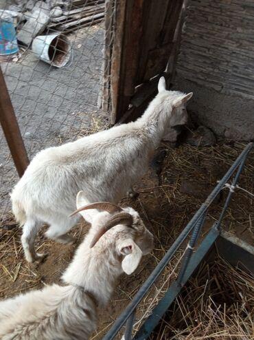 Куплю козу дойную - Кыргызстан: Продаю   Коза (самка)   Зааненская   Для разведения, Для молока