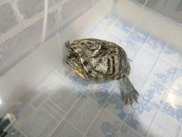 242 объявлений | ЖИВОТНЫЕ: Красноухая черепаха . Обитает в основном в воде . Размер панциря 16*12