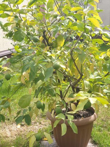 Лимоны - Кыргызстан: Продаю лимон пролоносящий с плодами. Очень большое! Более 20 лет!
