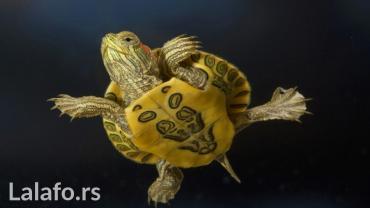 Mlade i zdrave akvarijumske kornjačice - Beograd