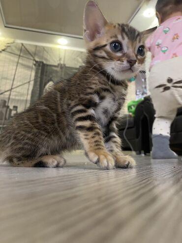 Остался последний бенгальский котёнок Возраст два месяцаСо всеми