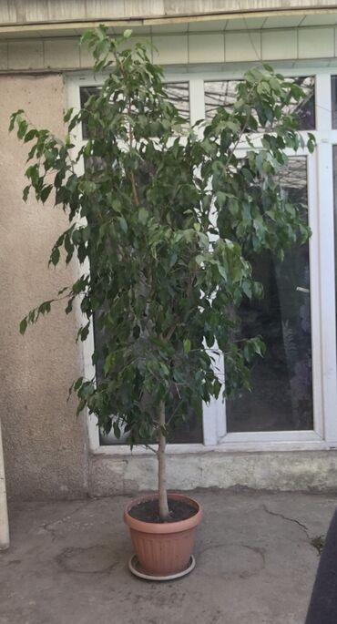 Фикус - Кыргызстан: Продам фикус Бенджамина. Высота  ок 2 метра. Доставка по договоренност