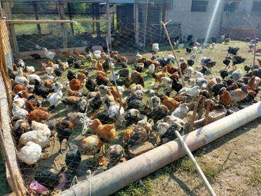 42 объявлений | ЖИВОТНЫЕ: Продаю | Куры, Цыплята | Домашняя, Кучинская | Для разведения, Несушки