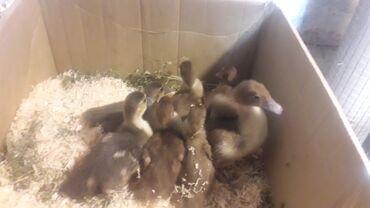 Lal ördek balaları satılır 12 gunluk 5 karicnivi iki boz kül rengi