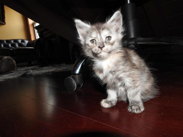 Thank you for interest! All kittens are reserved now. 4 gorgeous Maine σε Argithea