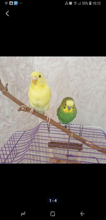 Волнистые попугаи для хорошие руки самое главное Желтый девочка. Зелен