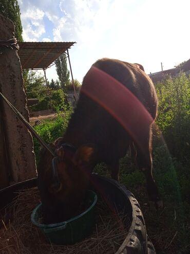 Животные - Арашан: Срочно продам быка 1,5год на откорм 50000сом атдам