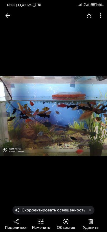 Аквариумы - Кыргызстан: Продаётся акварум 121 л в мес. рыбками 96 или 99 штук Бонс Маланезия