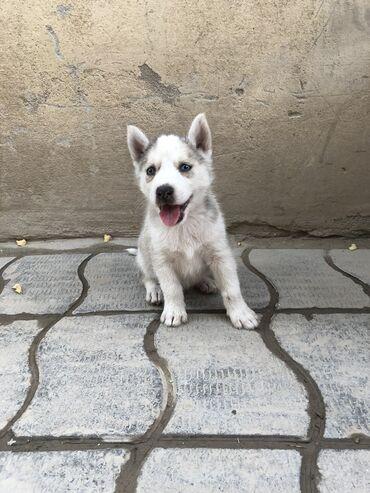 Животные - Таджикистан: Продаётся щенки хаски