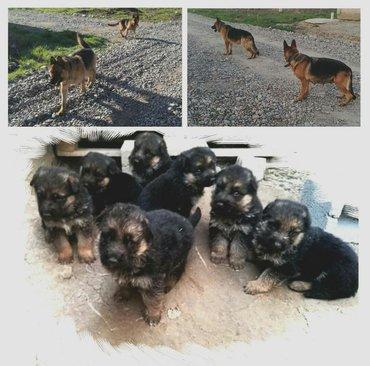 акустические системы rs колонка в виде собак в Кыргызстан: Продам щенков чистокровные овчарки с документами