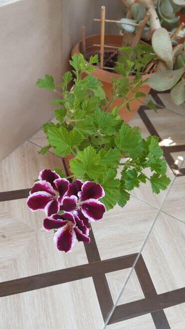 Otaq bitkiləri - Azərbaycan: Müxtəlif rənglərdə pelarqoniyalar satılır. Qiymət 4 manat, dibçəklə