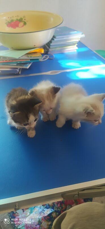 Отдадим даром котят и их маму две девочки и один мальчик. Рады будем
