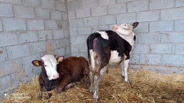 Срочно продаю породистых бычков искуственного осиминение возраст от 6