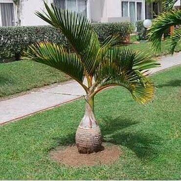 Semenke palme Cena:600din/5kom