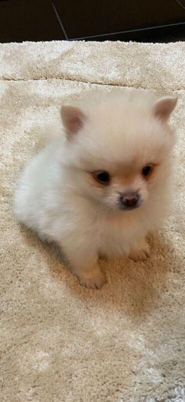 Η KC κατέγραψε την πώληση Pomeranian κουτάβιαΕίμαστε στην ευχάριστη