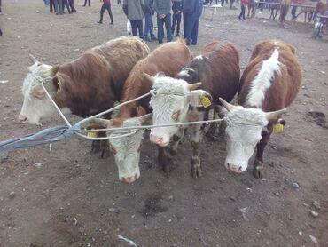 С/х животные - Кара-Суу: Коровы, быки