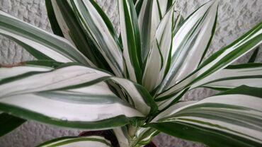 Dracena White Bird, Drvo Života, 35cm Visina, veoma dekorativna za sve