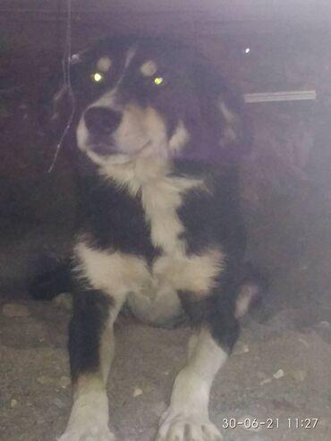 Животные - Сузак: Отдам собаку бесплатно состоянине норм и для охоты
