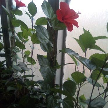 Bakı şəhərində Kitayiski roza ev  guludur