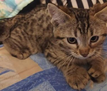 Готовятся к продаже котята породы пикси боб.(домашние эльфы)Котята