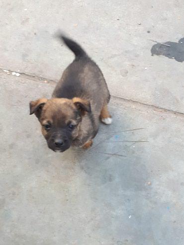 СРОЧНО Отдадим щенка в добрые руки. в Бишкек