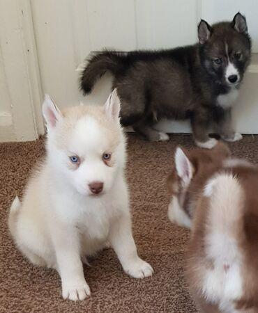 Όμορφα Σιβηρικά Huskies Έτοιμος να φύγει με τα εξής: Ο κτηνίατρος ελέγ