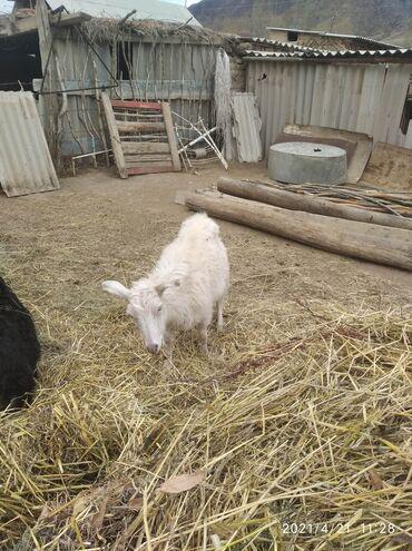 Продаю | Коза (самка) | Зааненская | Для молока | Племенные