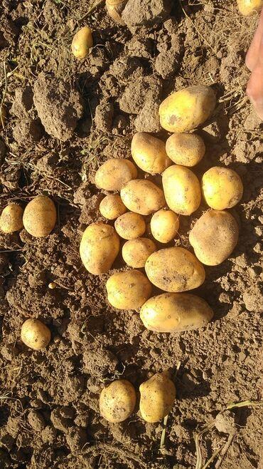 36 объявлений: Семена Джелли 2021, Чон кичине аралаш