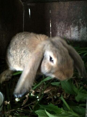 Животные - Маевка: Продаю кроликов. Породы французский баран и великан. Возраст 4,5 - 5