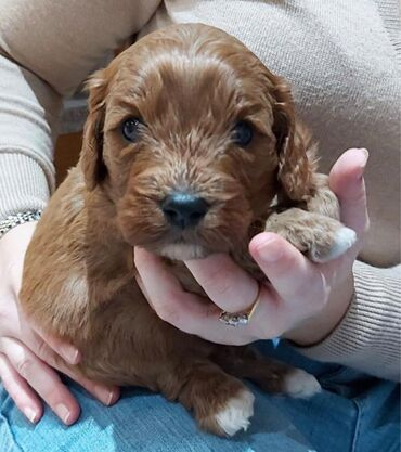 Cavapoo puppies for sale WhatsApp + 32 We have male and female Cavapoo