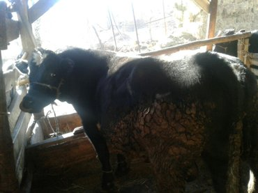 бычки 2 года и 7 месячные в Бишкек