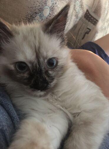 отдам в Кыргызстан: Отдам котёнка девочка, она очень игривая будет ждать вас у двери.Она