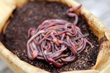 Другие животные - Кыргызстан: Продаю компосных жирных червей для рыбалки. 1 шт 1 сом. Точный адрес у