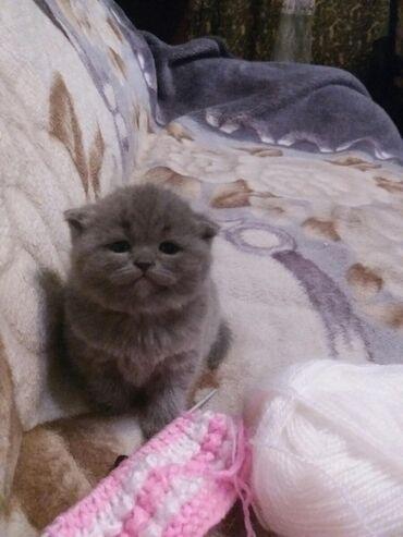 Выставляются в резерв чистопородных штландских котят родились 17