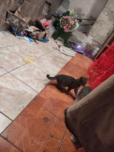 Животные - Кой-Таш: Отдам котенка даром в хорошие заботливые руки