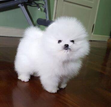 Λατρευτά γενεαλογικά Pomeranian κουτάβια έτοιμαΔιεύθυνση email