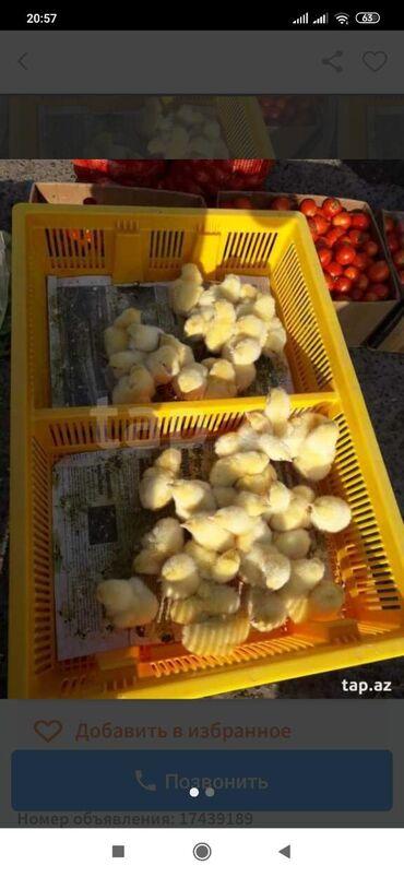 toyuq cuce satisi в Азербайджан: Cuce dasimaq ucun 20eded var birinin qiymeti 6manat