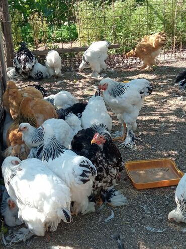 Животные - Шопоков: Продаю брамо кохи по 2500 породистые
