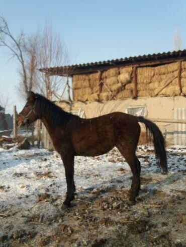 buick le sabre 3 8 at в Кыргызстан: Продаю жеребца возраст 3 года стоит на откорме 2 месяца есть варянт