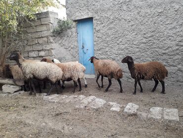 qoyunlar - Azərbaycan: Qala cinsi bogaz qoyunlar. Yelin edenleride var. Tam saglam ve hundur