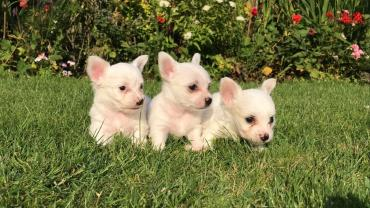 Chihuahua Dogs and Puppies for sale σε Dorida
