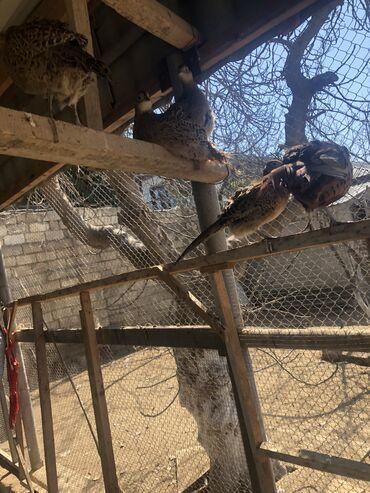 Quşlar - Azərbaycan: Qırqovul quşları