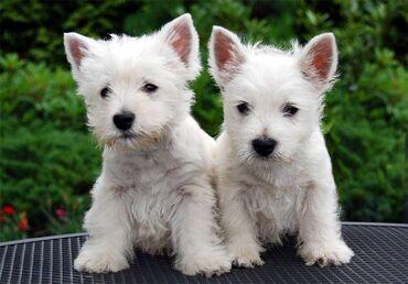 Λευκό τεριέ δυτικών υψίπεδωνΠροσφέρω δύο κουτάβια West Highland White