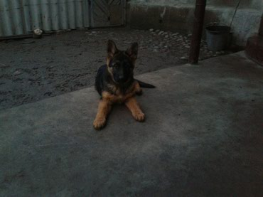 Продаю щенки немецкой овчарки три в Бишкек