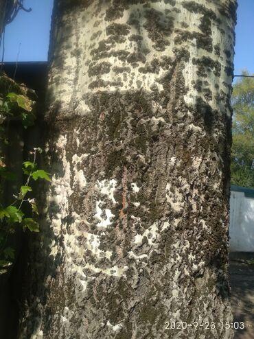 Дом и сад - Беловодское: Тополь, на Иссик куле