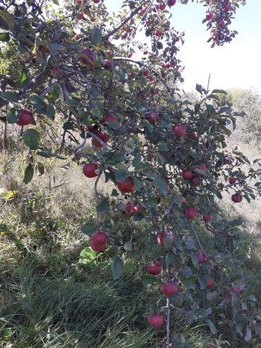 44 объявлений: Продаю яблони летние зимние сорта и груша талгарка.Каракол Пристань