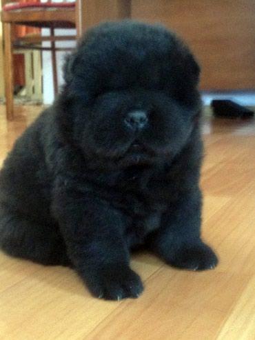 Продается щенок  чау-чау , рожденный в Бишкек