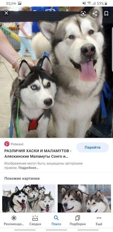 купить для собаки в Кыргызстан: ВЫГУЛ СОБАК,ХОРОШУЮ И ДОБРУЮ 50 СОМ 1 ЧАС Меня зовут Алтынай Очень люб