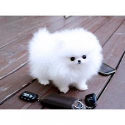 Pomeranian όλα kc reg. Υπέροχο μικρό αρκουδάκι τύπου pom έχει μικρά πό