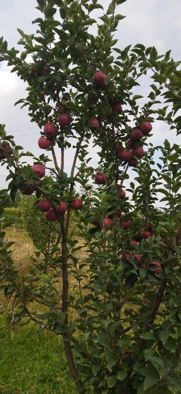64 объявлений: Продаю яблоки привосход, апорт, бабушка итд большой сад продаю оптом